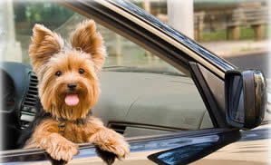 Transport Yorkshire Terrier