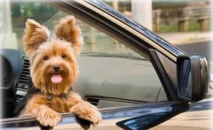 Transport Yorkshire Terrier